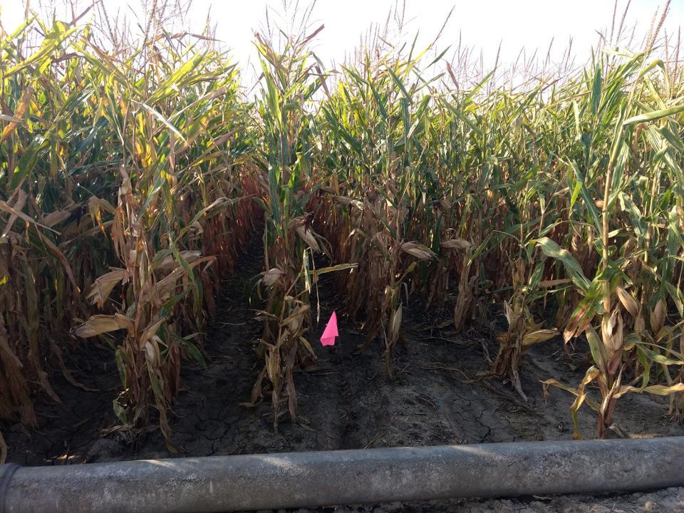 Pipe-irrigated corn in west central Nebraska