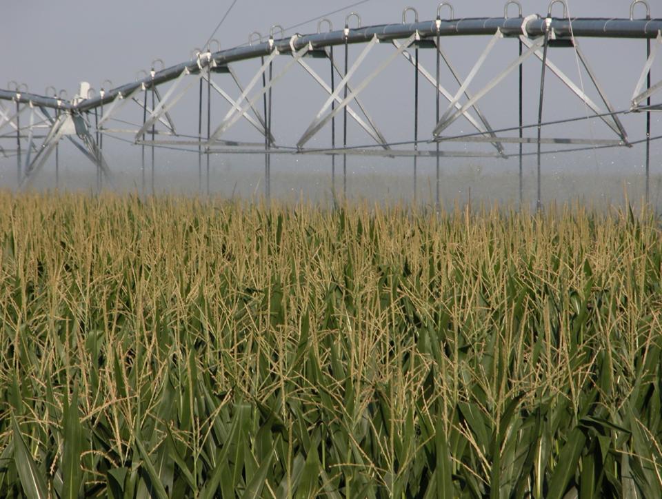 Center pivot irrigating late season field of corn.