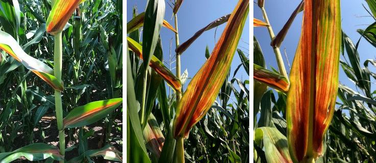 Corn leaves can turn red when the sugars from the photosynthesis process build up in leaves and stalks when there aren't enough kernels to store the sugar. (Photos by Megan Taylor)