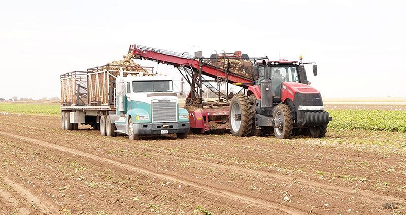 harvesting sugarbeets