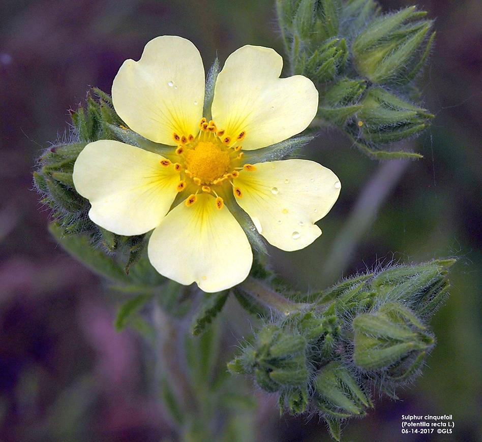 Sulphur Cinquefoil An Invasive Species In Nebraska Cropwatch