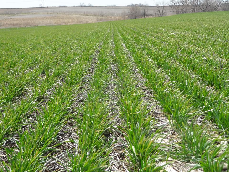 Winter wheat field in mid April