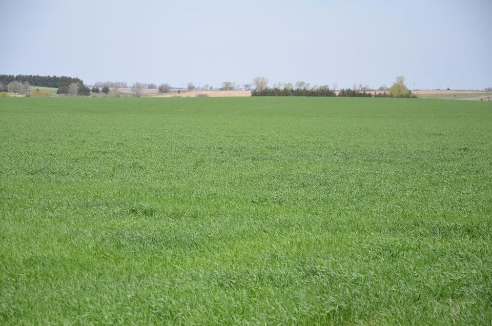 A typical wheat field in Nebraska early in the growing season.
