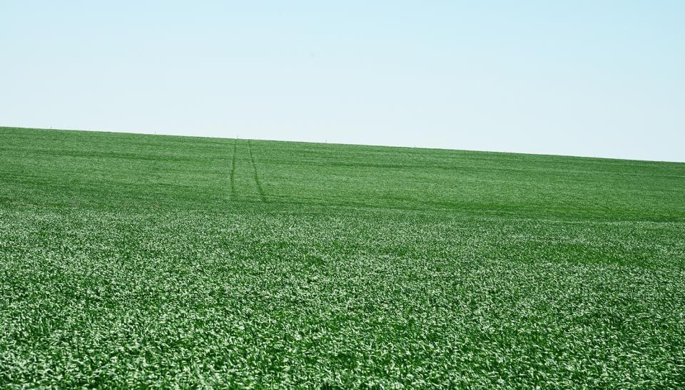 Healthy field of wheat
