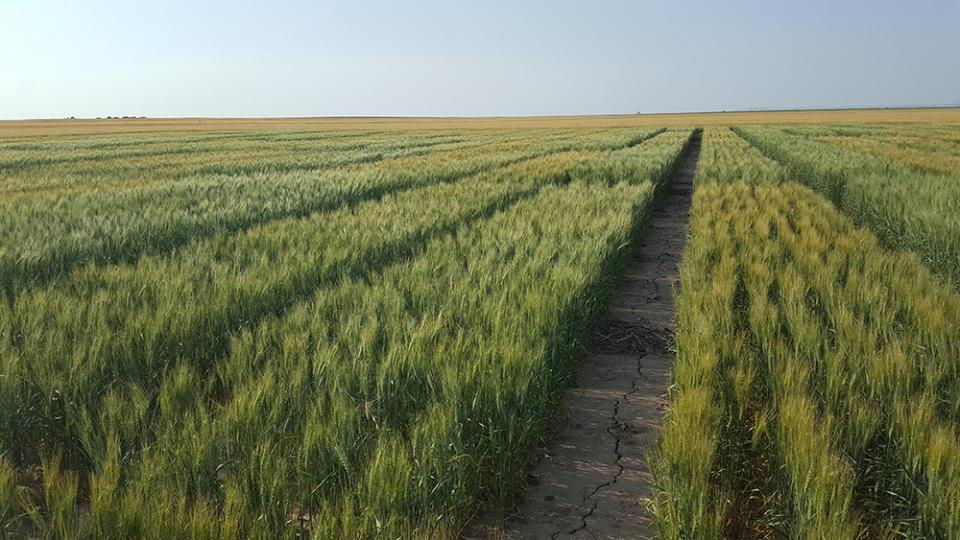 The first year of a winter wheat seeding date study was conducted in this Panhandle field in 2018.