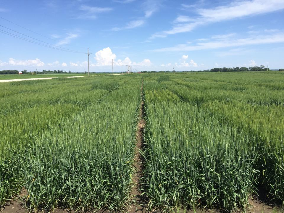 Winter wheat field trials conducted at the University of Nebraska Eastern Nebraska Research and Extension Center in 2018-2019.