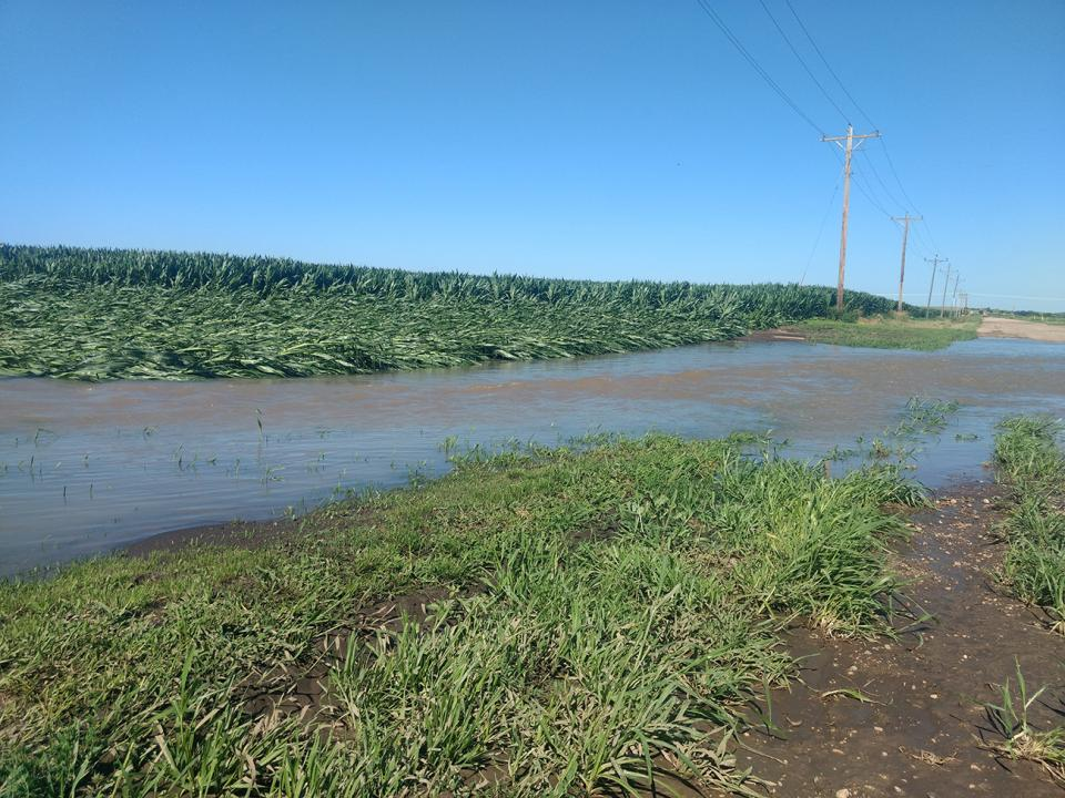 Edge of a flooded corn field with plants knocked down by wind and water.