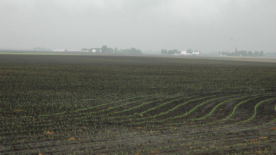 Late-planted corn in saturated soil