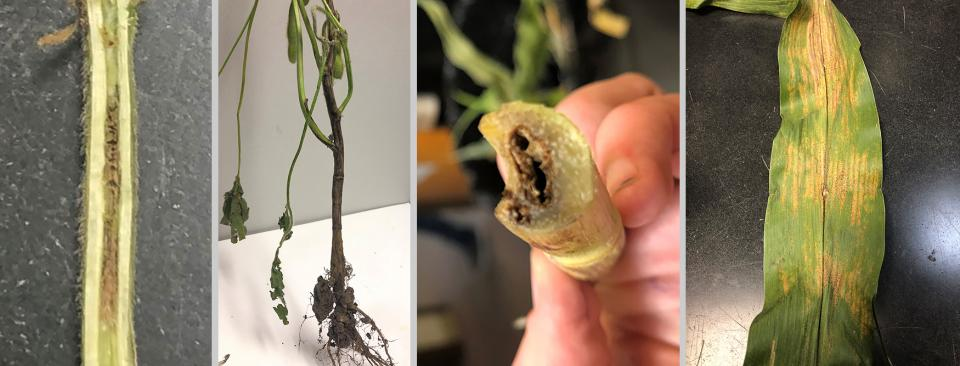 In soybean: brown stem rot and Phytophthora root and stem rot; in corn: bacterial stalk rot and Physoderma brown spot