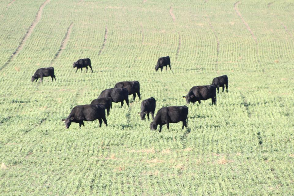 Given market prices, grazing winter wheat rather than harvesting for grain may be more profitable for some growers this year.
