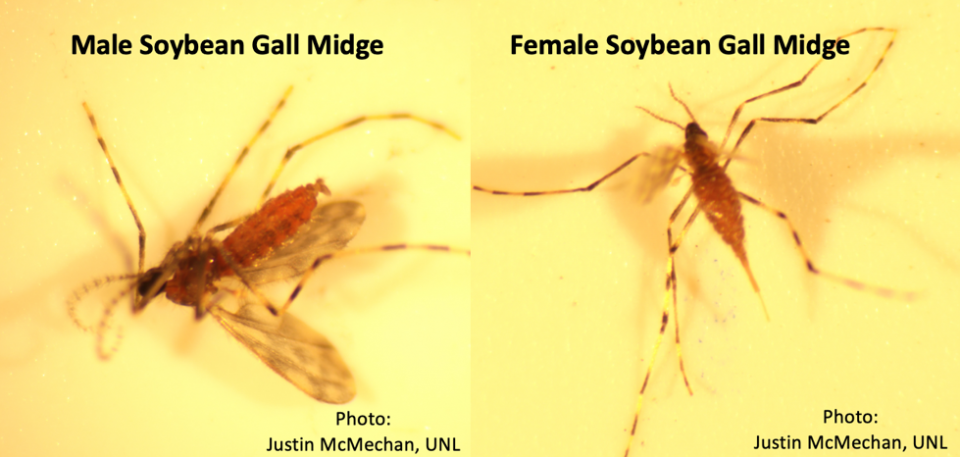 Figure 1. Male soybean gall midge (left) and female soybean gall midge (right). Female has a point abdomen due to its ovipositor whereas males have a clasping organ at the end of the abdomen. Males are of no threat to this year's soybean crop.