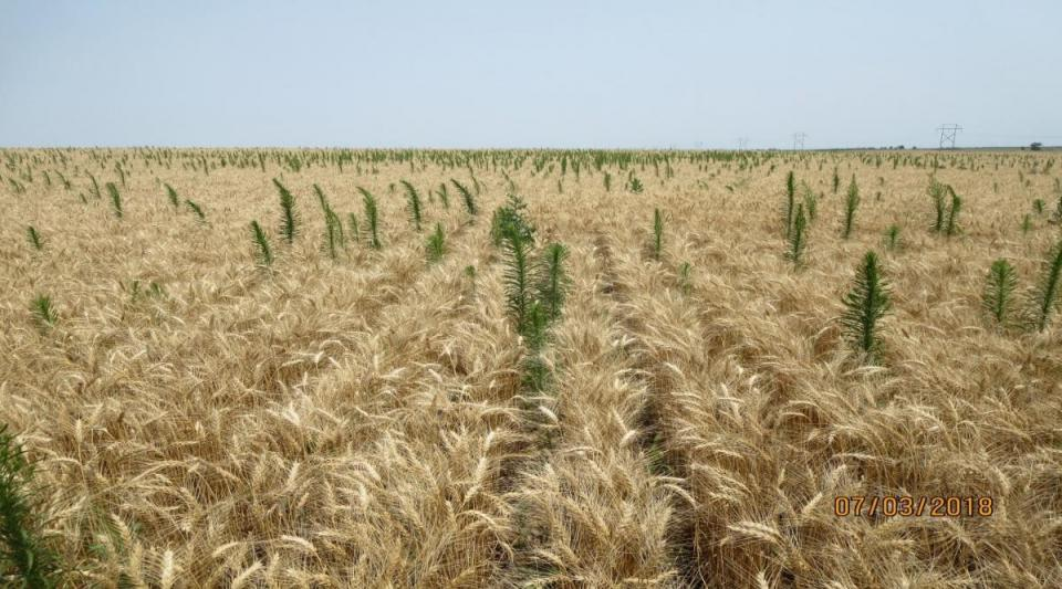 Figure 1. Weeds that are cut off with the combine header will need to regrow before they can be controlled.
