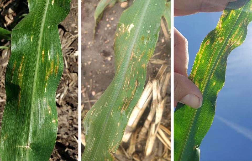 Bacterial leaf streak on corn