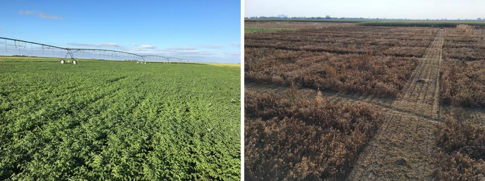 A chickpea field at two points in the season, summer and harvest. (Photos by Strahinja Stepanovic)