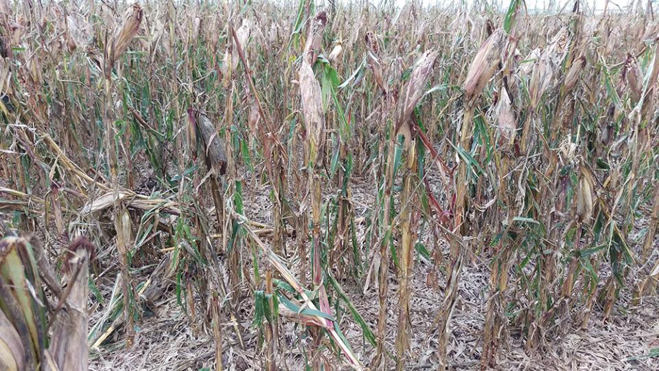 Hailed corn field