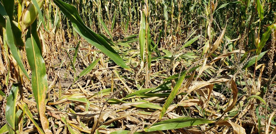 Stalk lodging and rot have been evident in some fields since August, particularly parts of fields that experienced water ponding earlier.