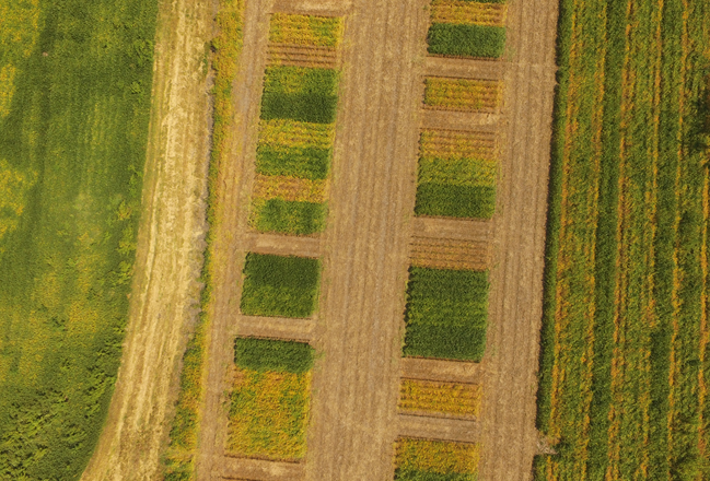 Figure 1. Cover crop trials were conducted in 2017-2018 at the UNL Havelock Research Farm near Lincoln to discover the impact of several practices on management of winter- and summer-annual weeds.