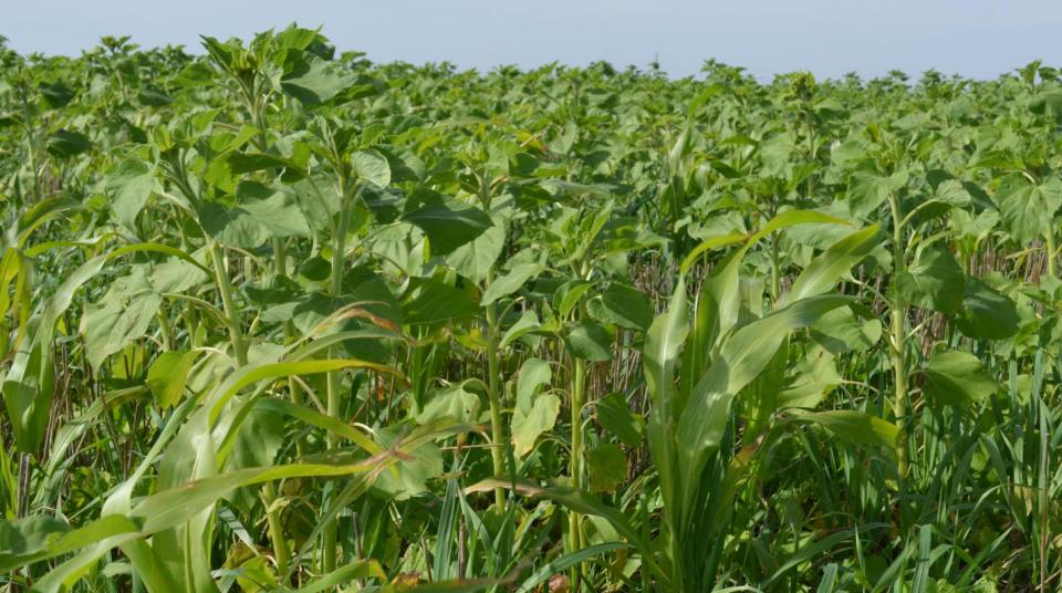 A field of cover crops