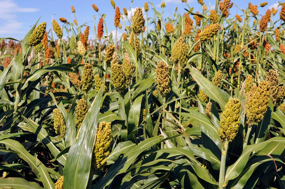 ARS scientists have discovered genes in sorghum that can double the amount of grain that the plant produces. (Photo by Robert Klein, USDA ARS)