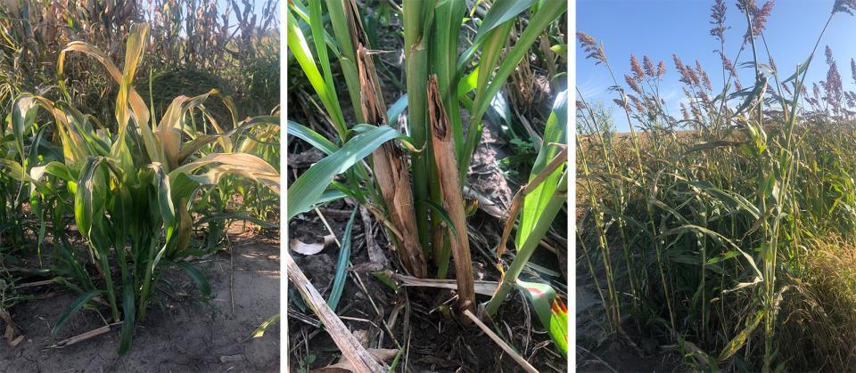 Frost damaged sorghum sudangrass hybrid