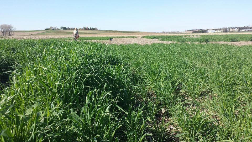 Early-planted rye (left) and late-planted rye cover crops
