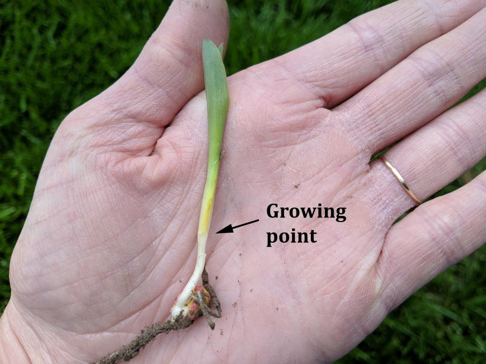 When estimating whether severely injured plants will survive, check the growing point. Healthy growing point is yellow/white and firm as is shown in this picture. Unhealthy growing point is discolored and soft to the touch.