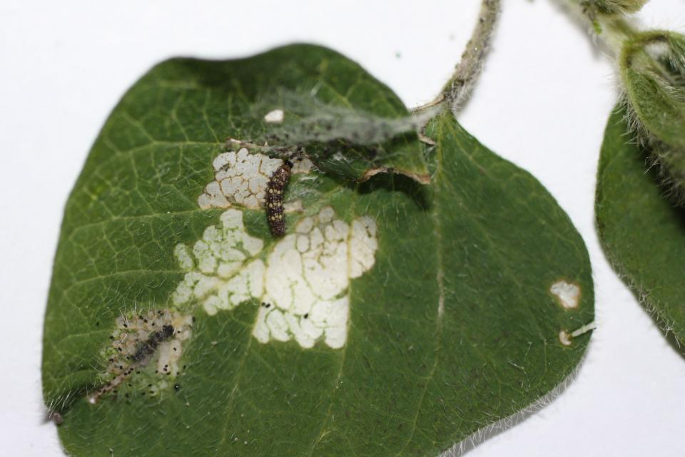 Thistle caterpillar on a soybean leaf (Photo by Ron Seymour)