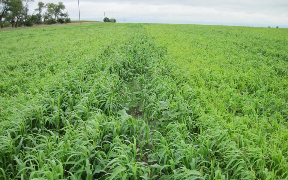 Figure 1. A mixture of warm- and cool-season cover crops. (Aaron Hird, NRCS)