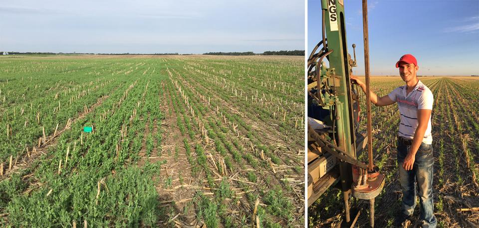 Figure 1. (L) Strips of field peas and chickpeas side-by-side in late April. (R) Agronomy intern Nemanja Arsenijevic installs neutron access tubes to measure soil moisture content.