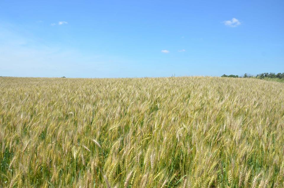 Field of wheat with severe fusarium head blight