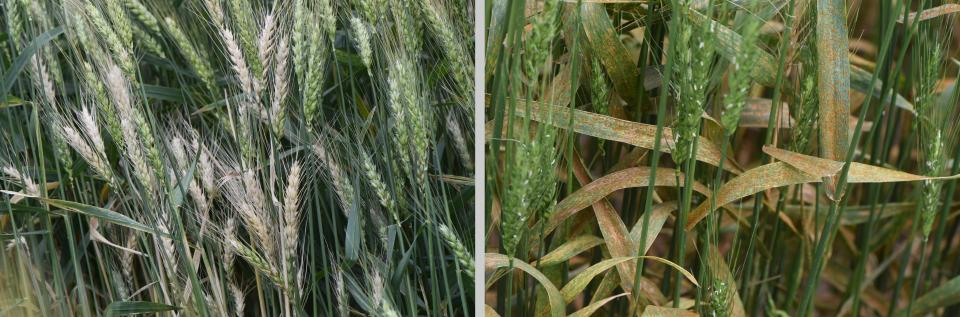Wheat diseases in the field
