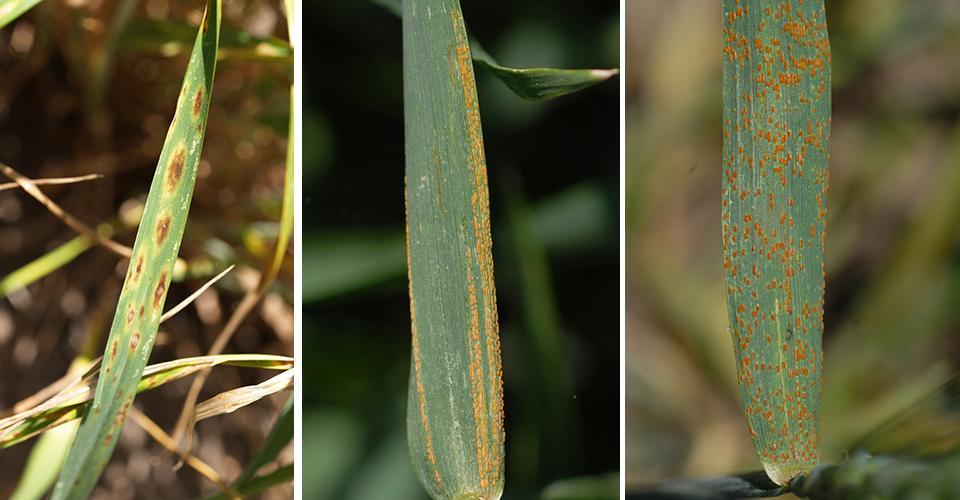 (L-R) Photos of wheat leaves with tan spot, stripe rust, and leaf rustephen Wegulo)