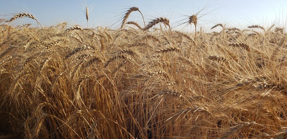 Field of wheat in the Nebraska Panhandle