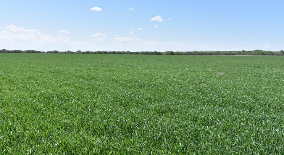 Figure 1. A healthy looking grower's wheat field in Red Willow County on May 14. Most fields surveyed May 13-16 in the southeast, south central, southwest, and southern Panhandle regions of Nebraska looked like this.