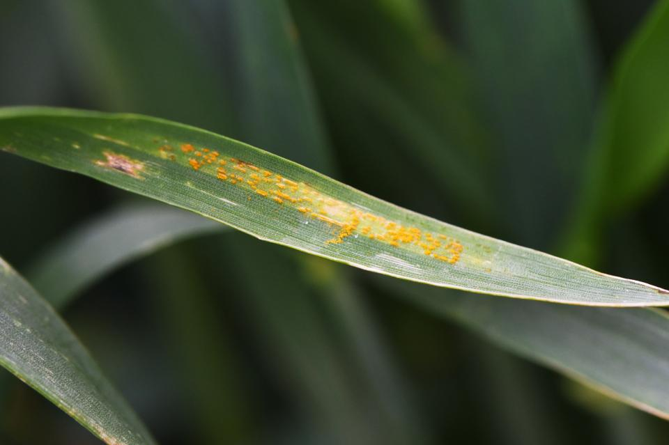 Figure 1.  Stripe rust in a grower's field in Perkins County on May 30.