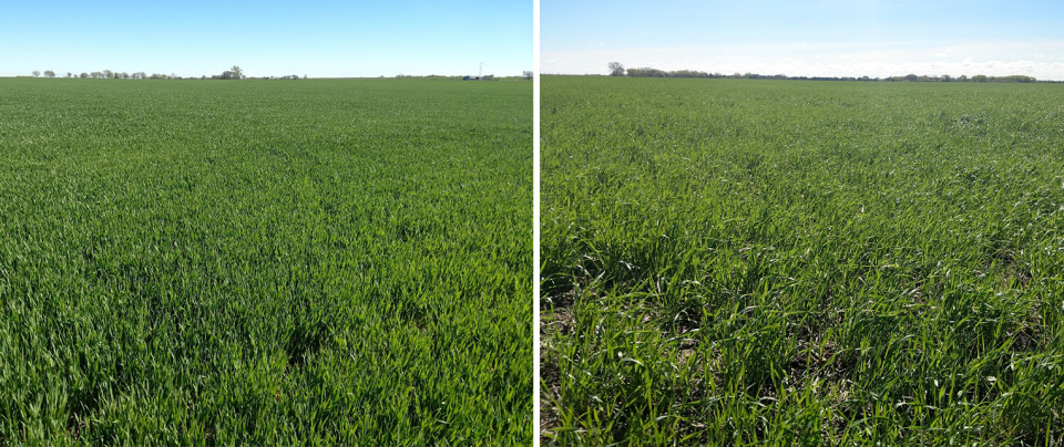 Comparison of wheat fields in Nuckolls County. The early-planted field (left) is at the jointing stage, Feekes 6, while the later planted field is at Feekes 4-5. (Photos by Michael Sindelar)