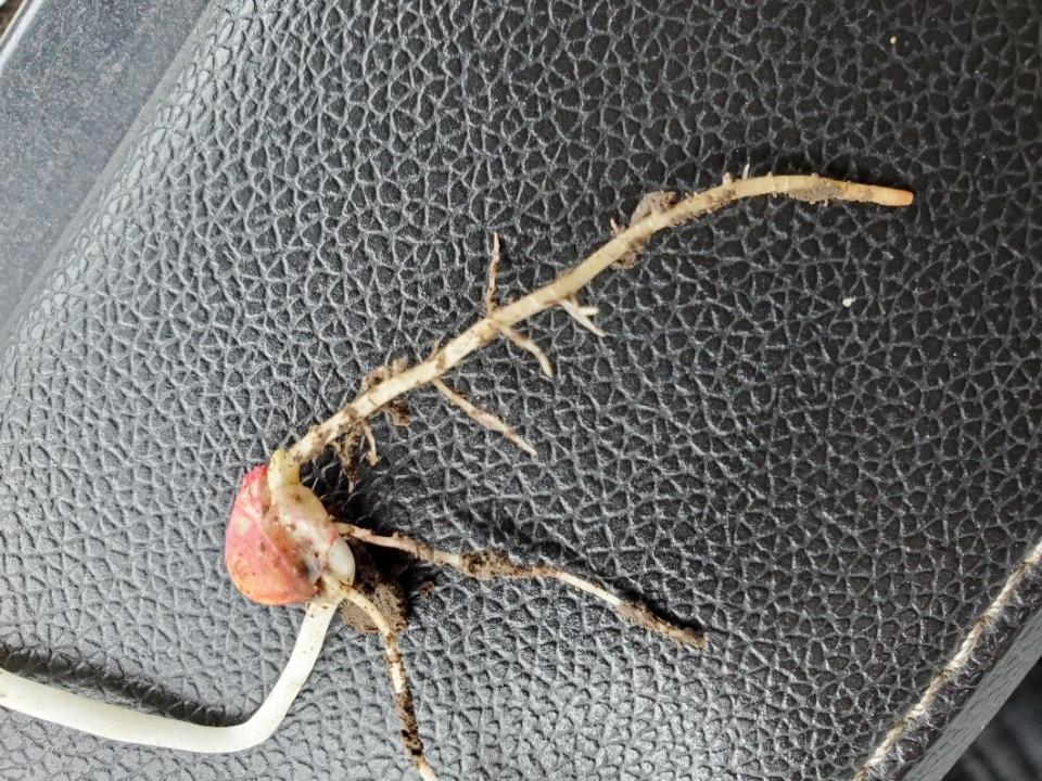 corn seedling with damage