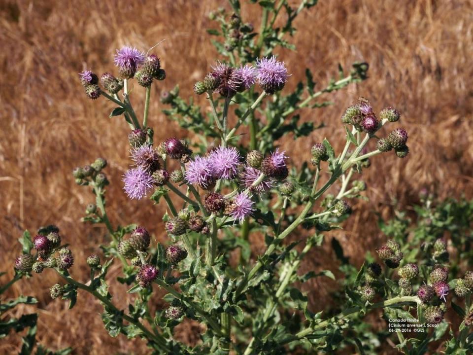 Canada thistle plant