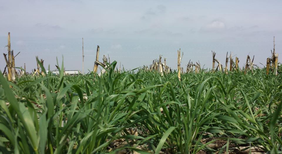 cereal rye as cover crop in corn field
