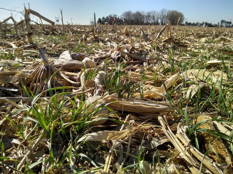 Rye in continuous corn