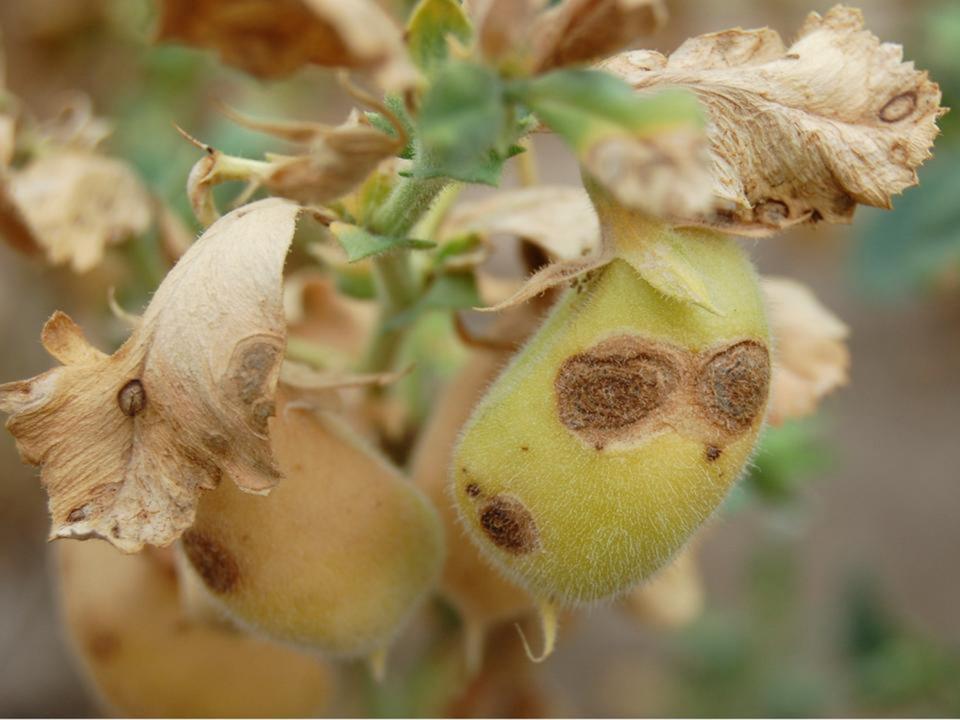 Diseased chickpea plant