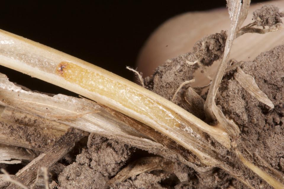 Overwintering sawfly larva