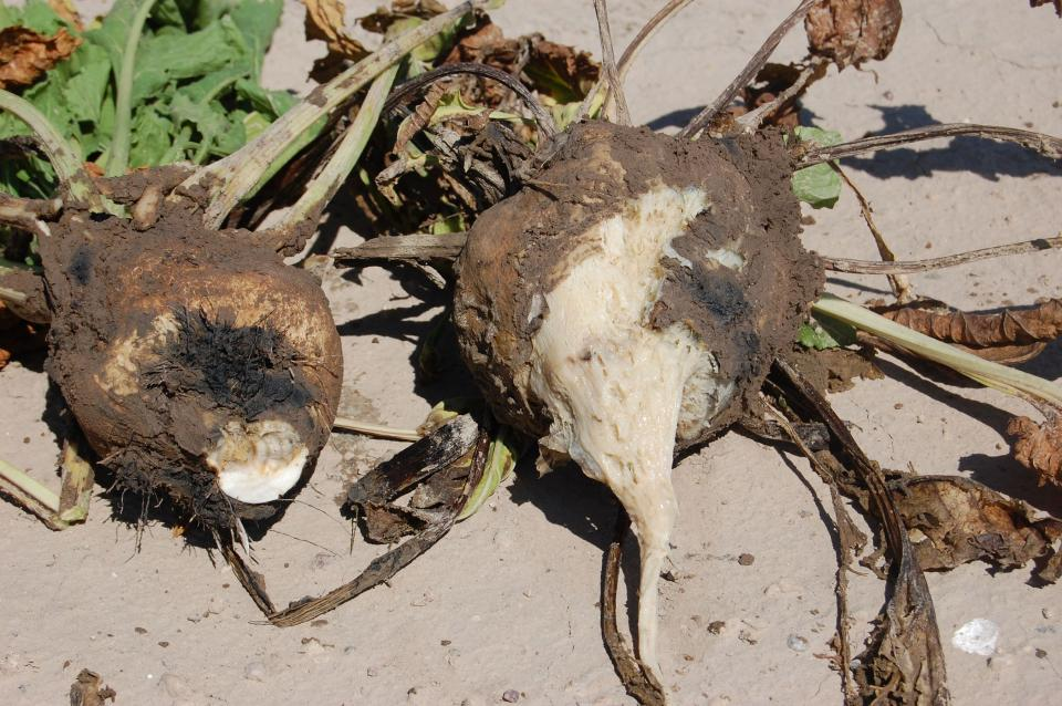 Sugar beets with root disease