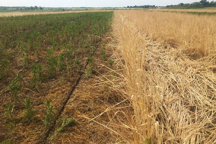 Fall seeded cover crop field