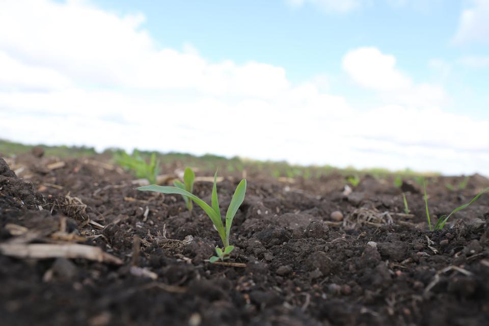 Oat seedlings in field
