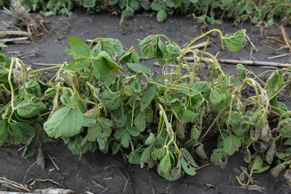 Dicamba damaged soybean plants