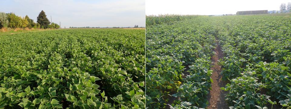 New dry edible bean plots