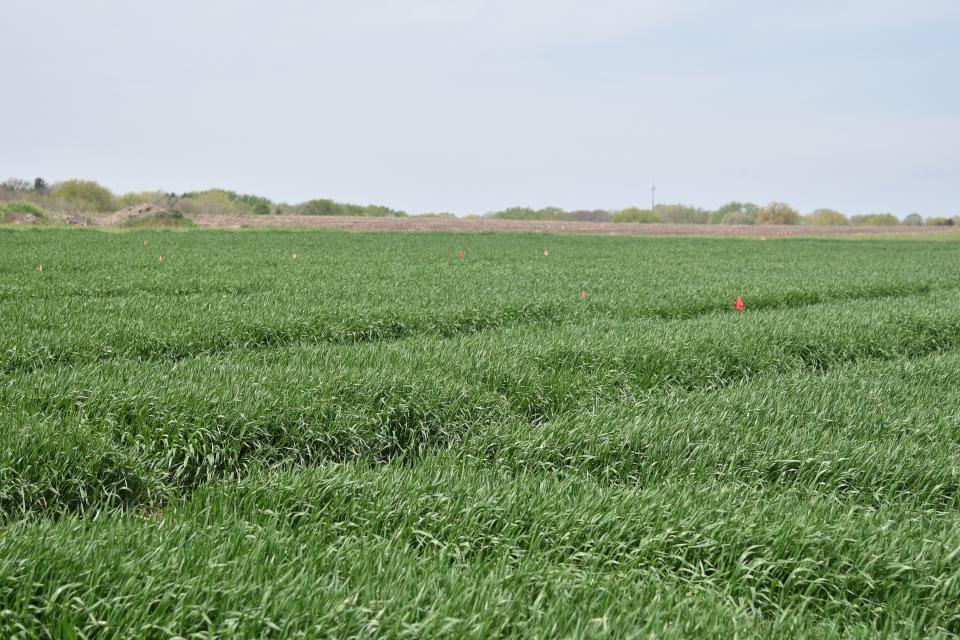 Wheat research plots