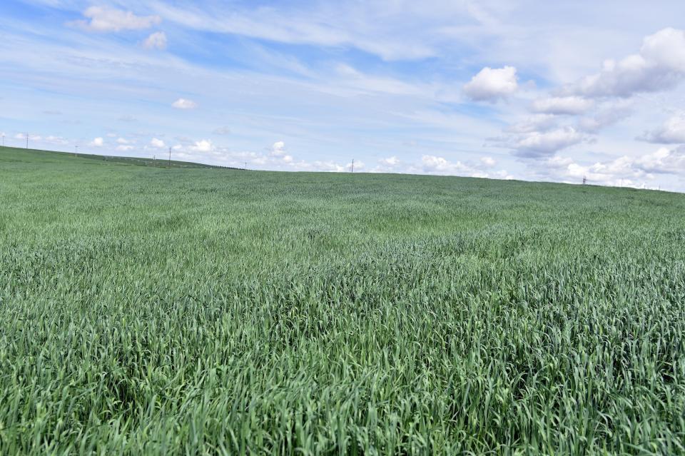 Wheat field in Nebraska