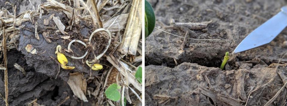 Soybeans emerging in field